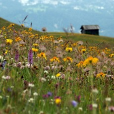Experience biodiverity on mountain meadows of Lungiarü