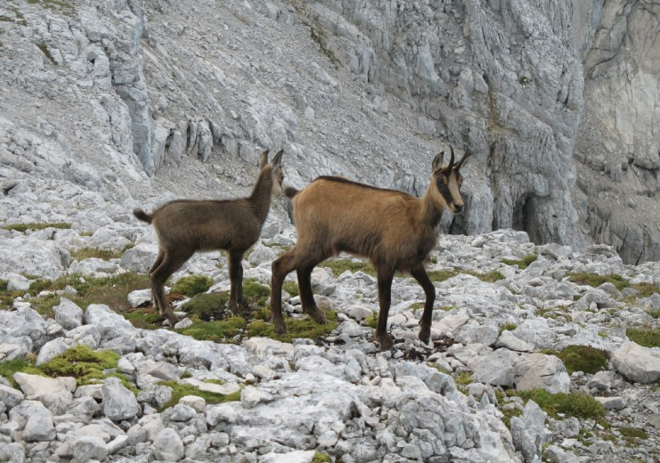 "Chamois in the ""Totes Gebirge"" (Mountaineering Village Grünau im Almtal)"